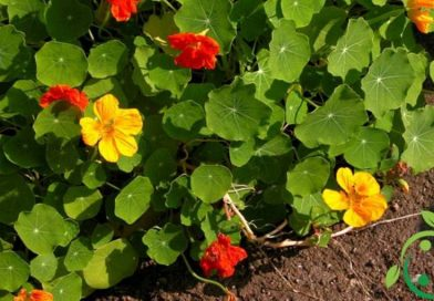 How to remove aphids and mealybugs with Nasturtium
