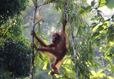 Over a hundred thousand orangutans killed by palm oil