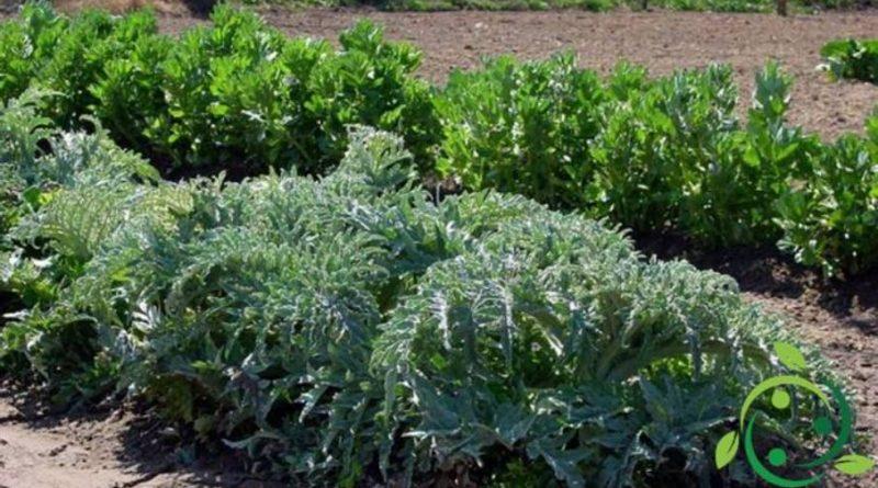 Come coltivare i carciofi