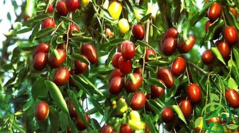 Come coltivare le giuggiole