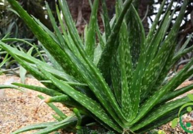 Come coltivare in maniera biologica l'Aloe vera