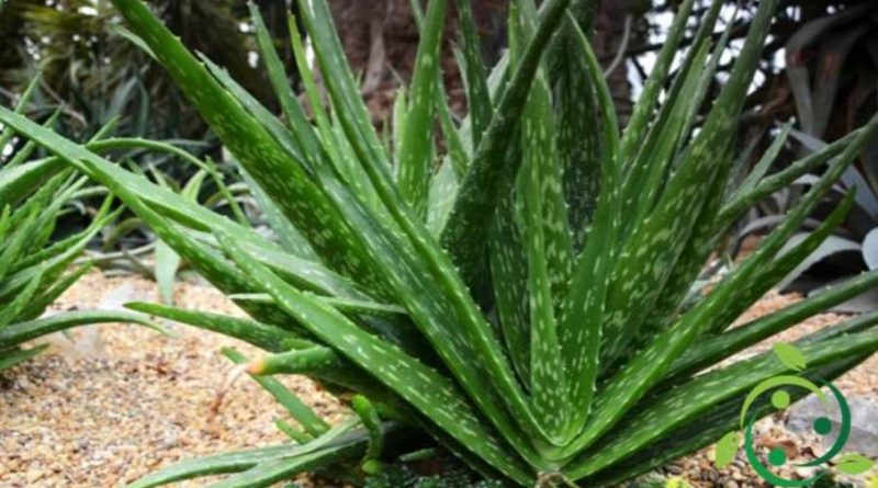Come coltivare l 39 aloe vera in maniera biologica tecnica for Aloe vera coltivazione