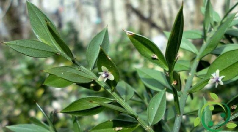 Come coltivare il Pungitopo