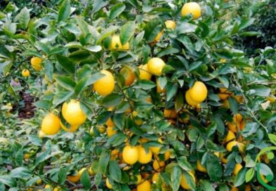 How to grow lemon in a biological way