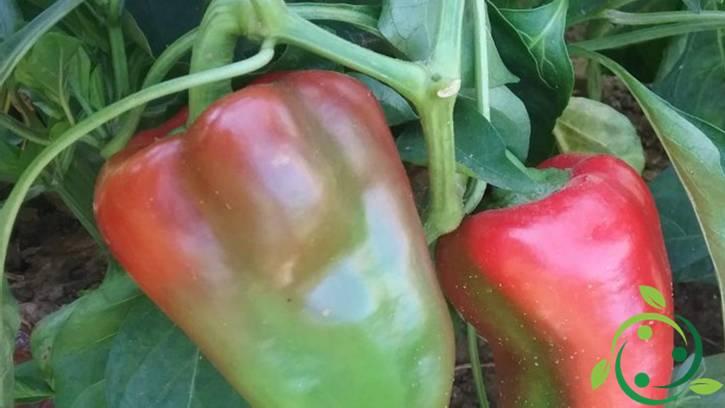 Come coltivare il peperone in vaso