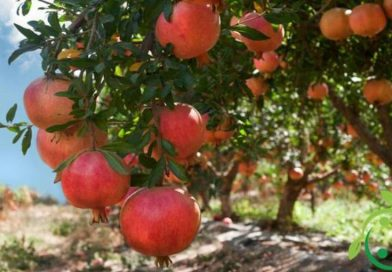 How to grow the pomegranate in organic