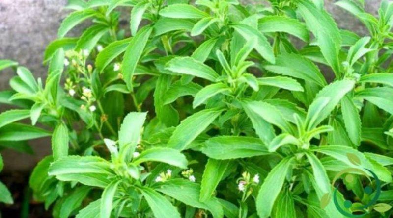 Come coltivare la Stevia in casa