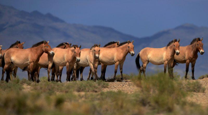 Estinti per sempre i cavalli selvatici