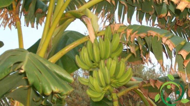 Come coltivare e maturare le banane