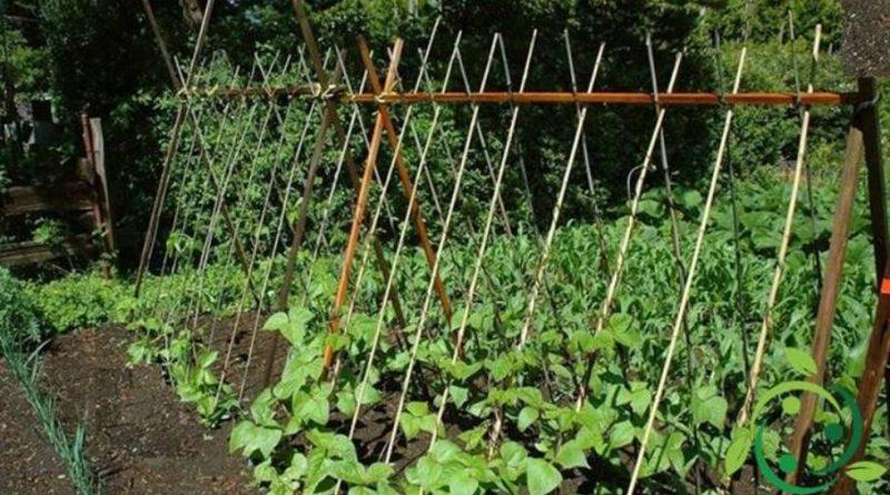 Come coltivare i fagiolini