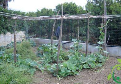Come coltivare la zucchina siciliana in maniera biologica