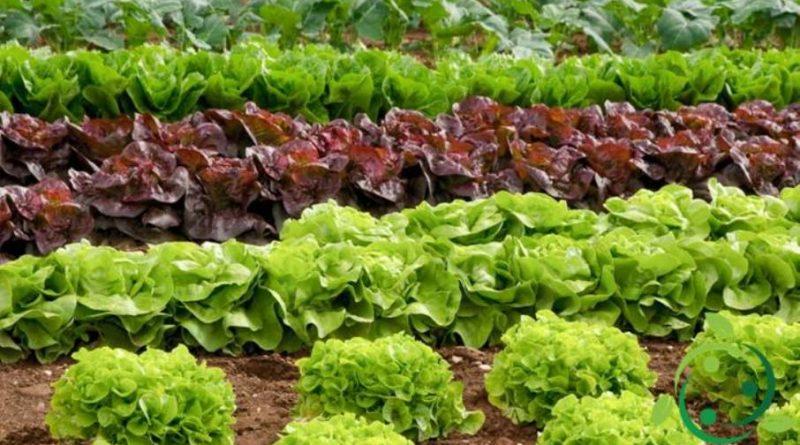 Come coltivare la Lattuga in maniera biologica
