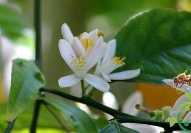Come produrre il miele di limone biologico
