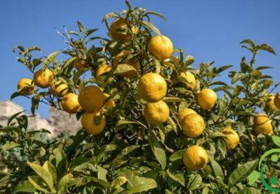 Come coltivare l'arancio amaro in maniera biologica