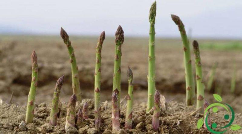 Come coltivare gli asparagi in maniera biologica