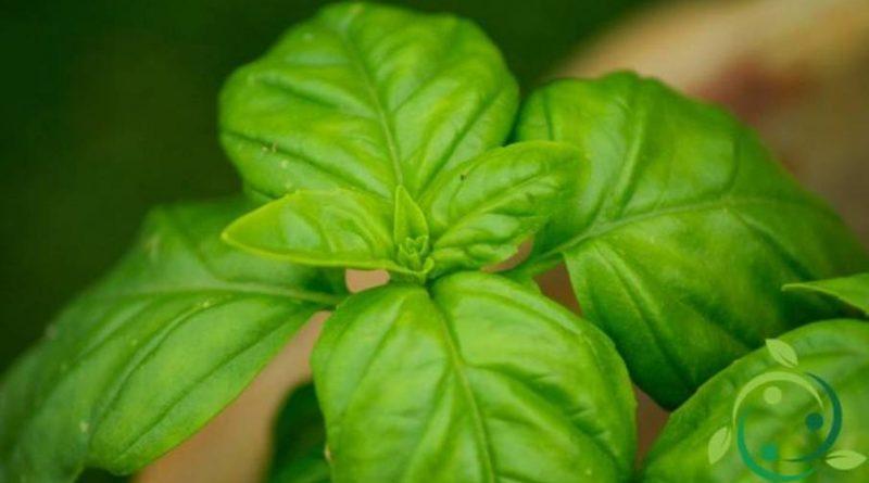 Come coltivare il basilico in maniera biologica