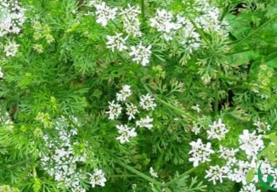 How to grow coriander in a biological way