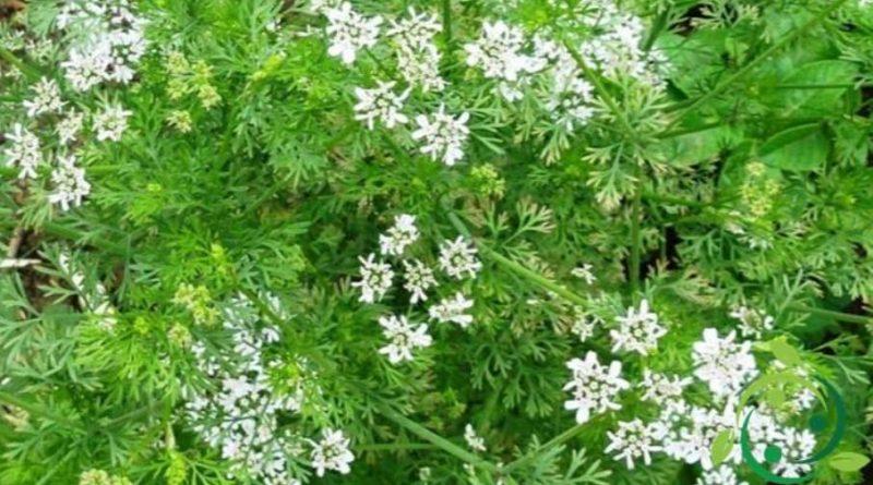Come coltivare il coriandolo in maniera biologica