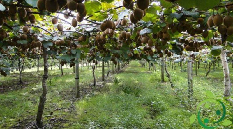 Come coltivare il Kiwi in maniera biologica