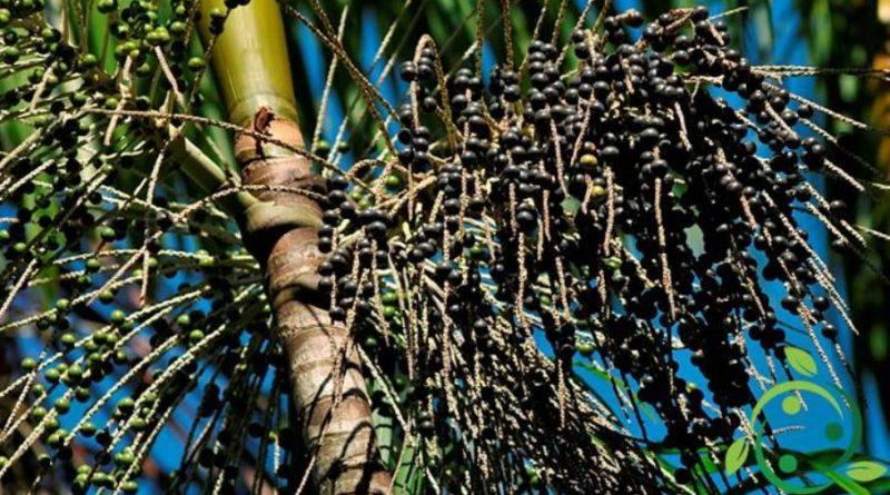 Come coltivare l'Acai in maniera biologica