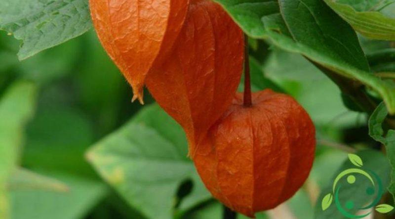 Come coltivare l'Alchechengi in maniera biologica