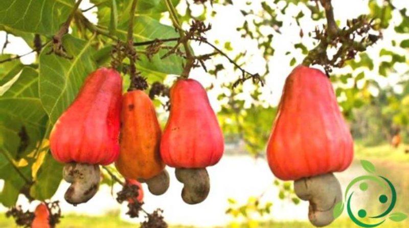 Come coltivare l'anacardio in maniera biologica