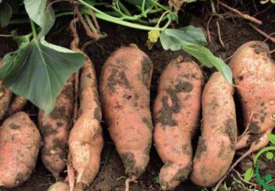Come coltivare la patata americana in maniera biologica