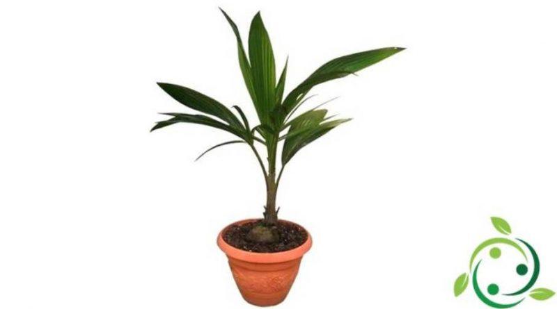 Come coltivare la Palma da cocco