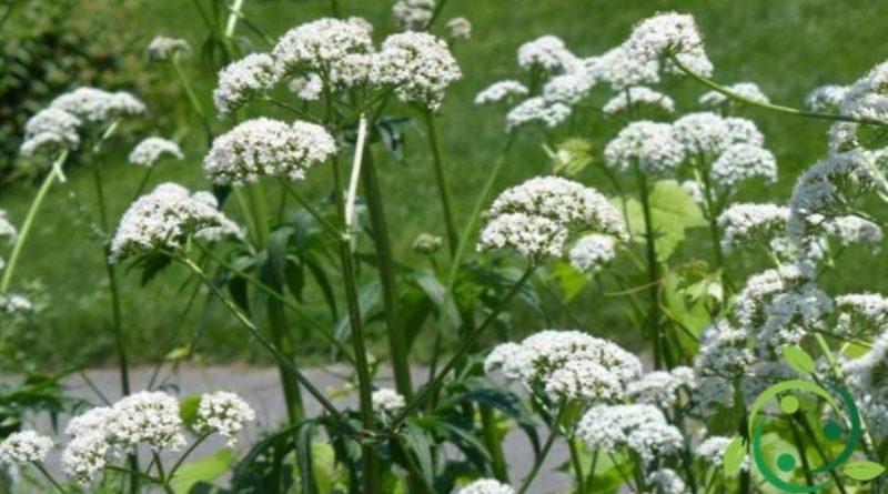 Come coltivare la Valeriana comune
