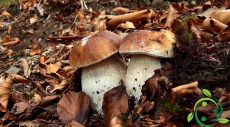 Quando raccogliere i funghi