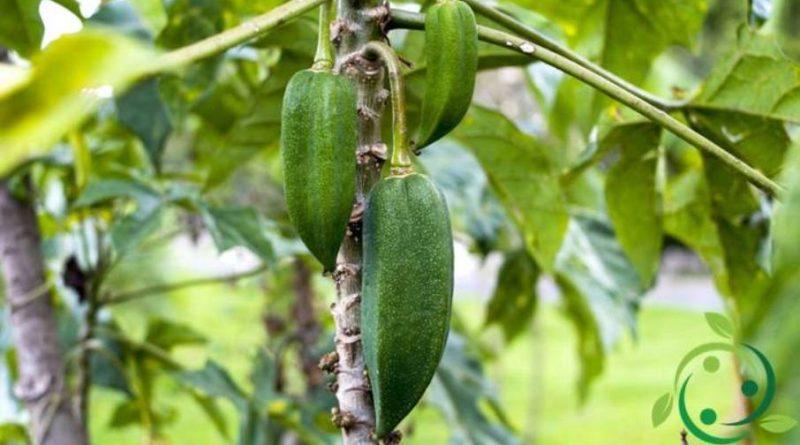 Come coltivare il Babaco