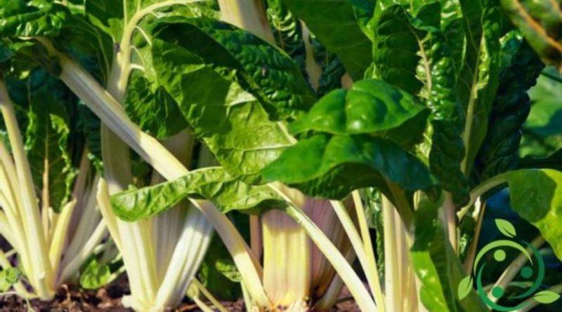 Come coltivare la bietola da coste in maniera biologica