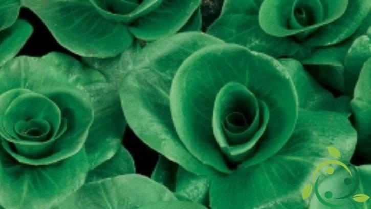 Come coltivare la cicoria a grumolo