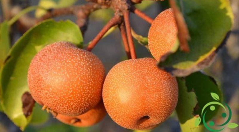 Come coltivare il Nashi in maniera biologica