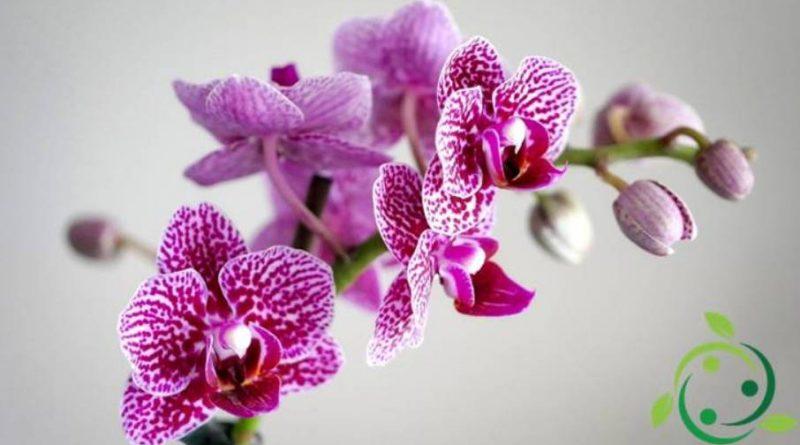 Come coltivare le orchidee in casa tutti gli accorgimenti for Orchidee in casa