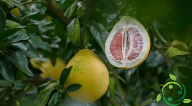 Come coltivare il pomelo