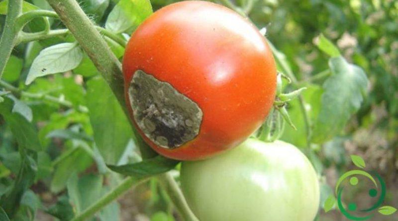 Prevenzione del marciume apicale del pomodoro
