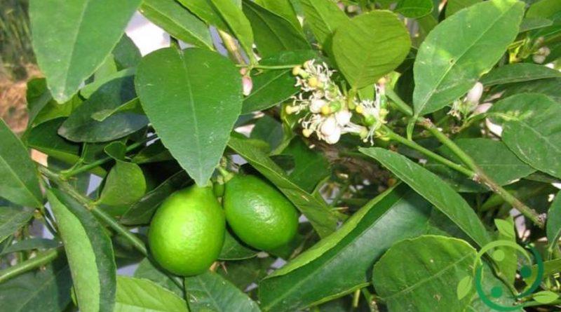Come coltivare il Lime