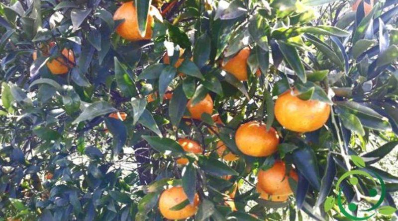 Come coltivare il mandarino in maniera biologica
