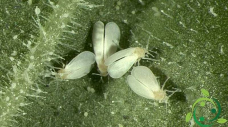 Trialeurodes vaporariorum