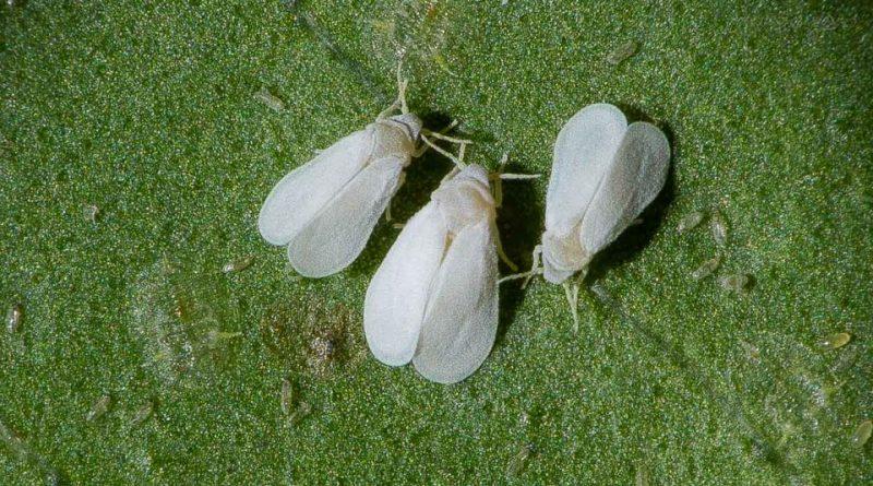 Aleurothrixus floccosus
