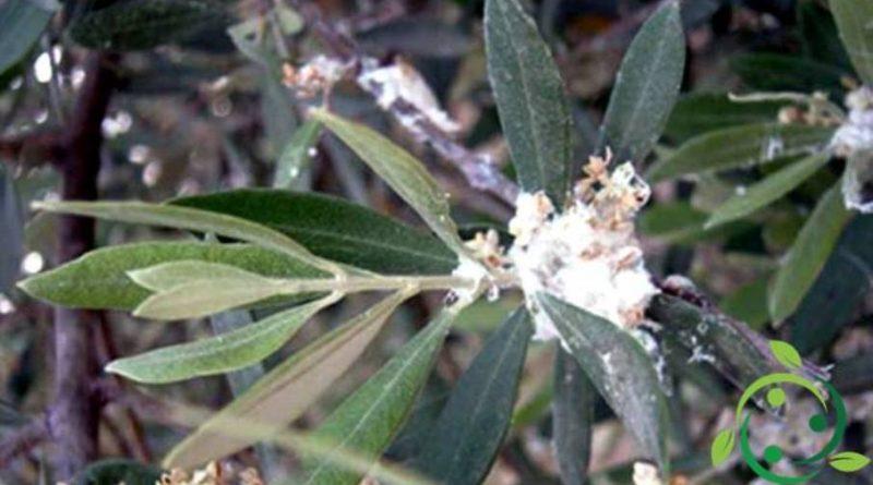 Lotta biologica al Cotonello dell'olivo