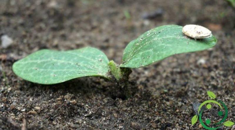 Ruolo del fosforo nelle piante