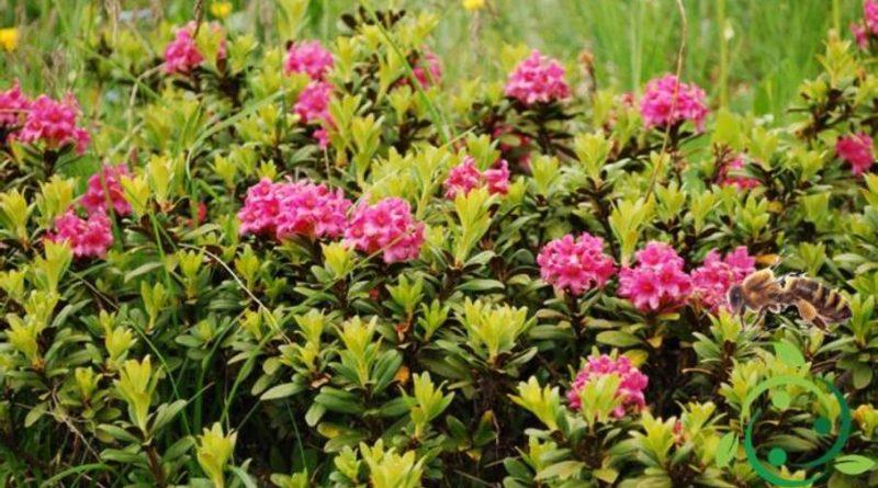 Come produrre il miele di rododendro biologico