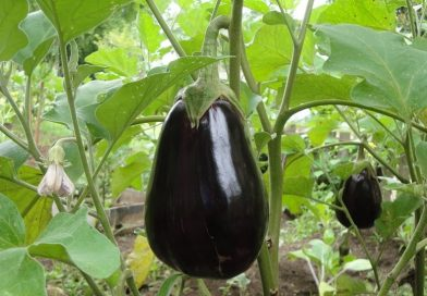 Solanum melongena