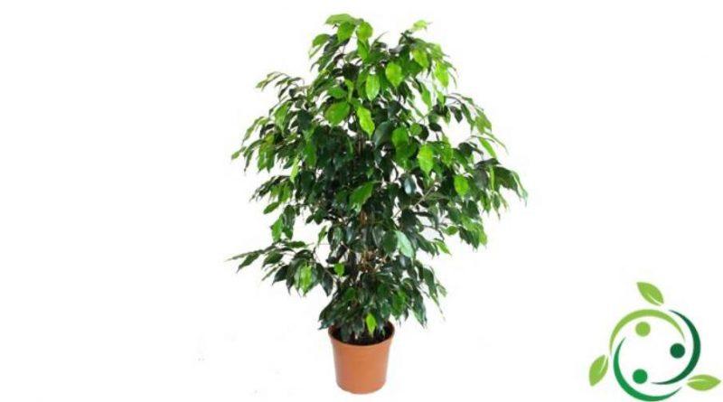 Come coltivare il Ficus benjamin
