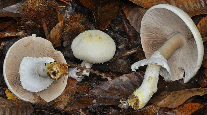 Agaricus silvicola