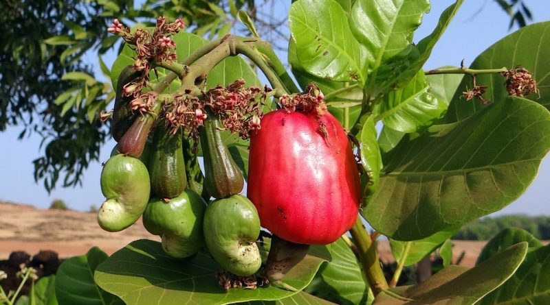 Anacardium occidentale