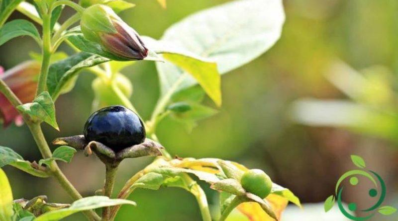 Come coltivare la Belladonna