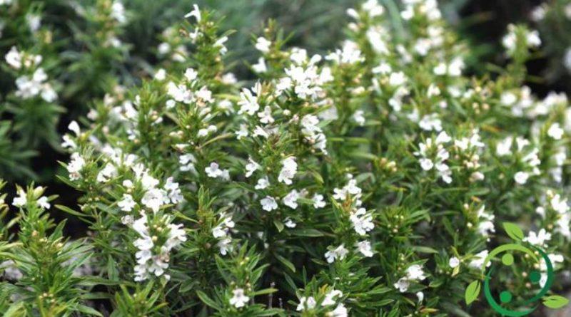 Come coltivare la santoreggia montana
